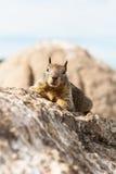 Das kleine Eichhörnchen auf dem Felsen stockfotografie