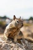 Das kleine Eichhörnchen auf dem Felsen stockfotos