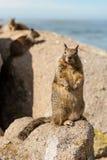 Das kleine Eichhörnchen auf dem Felsen stockbilder