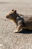 Das kleine Eichhörnchen auf der Straße stockfotografie
