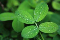 Das kleine grüne Blatt mit Wassertropfen Stockfotos