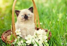 Das kleine Kätzchen, das in einem Korb mit Jasmin sitzt, blüht Stockbild