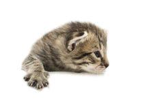 Das kleine Kätzchen lokalisiert auf Weiß Stockfotografie