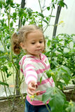 Das kleine Mädchen betrachtet Blumen von Tomaten im Gewächshaus stockfotografie
