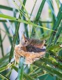 Das kleine Nest heraus wachsen Stockbilder