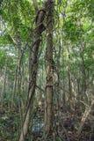 Das Klettern hält die Verpackung um Mangrovenbäume auf, wie in der Lekki-Erhaltungs-Mitte in Lekki, Lagos Nigeria gesehen lizenzfreie stockfotografie