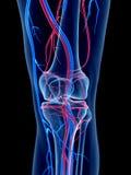 Das Knie lizenzfreie abbildung