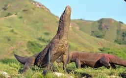 Das Komodowaran Varanus komodoensis hob den Kopf Es ist Stockbild