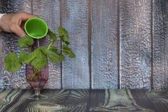 Das Konzept des Interessierens für die Umwelt und den Umweltschutz Hand, die eine Grünpflanze nach Versetzung wässert lizenzfreie stockfotografie