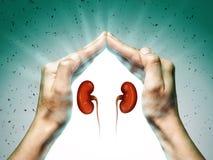 Das Konzept von gesunde Nieren lizenzfreies stockfoto