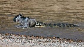 Das Krokodil hält den Wildebeest im Fluss Mara an Stockfoto