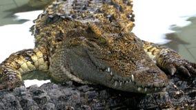 Das Krokodil liegt im Wasser auf einem anderen Krokodil thailand stock video footage