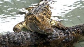 Das Krokodil liegt im Wasser auf einem anderen Krokodil thailand stock footage