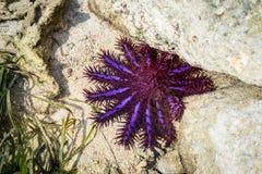 Das Krone-vondornen Starfish Acanthaster-planci Stockbilder