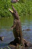 Das kubanische Krokodil springt vom Wasser heraus Lizenzfreie Stockfotos