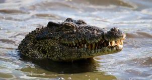Das kubanische Krokodil springt vom Wasser heraus Stockbild