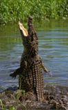 Das kubanische Krokodil springt vom Wasser heraus Stockfotografie