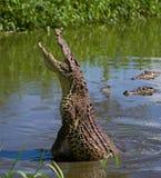 Das kubanische Krokodil springt vom Wasser heraus Stockbilder
