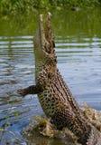 Das kubanische Krokodil springt vom Wasser heraus Lizenzfreie Stockfotografie