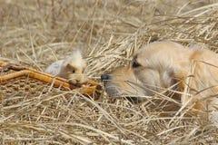 Das Labrador und das Meerschweinchen Lizenzfreie Stockbilder