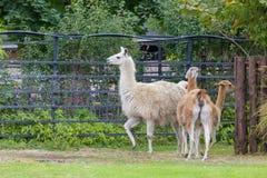Das Lama stockfotos