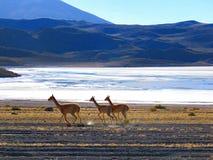 Das Lama, das in den Hochländern von Bolivien lebt stockbild