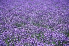 Das Lavendelfeld Stockbilder