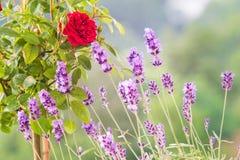Das Lavendelfeld Stockfotografie