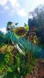 Das Leben einer Sonnenblume Lizenzfreie Stockbilder
