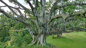 Das Leben ist wie ein Banyanbaum, der viele Stadien hat Stockfotografie