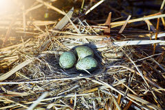 Das Legen ärgert in einem Nest auf dem Wasser im wilden Stockfotos
