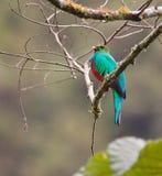 Das legendäre Golden-Vorangegangene Quetzal lizenzfreies stockfoto
