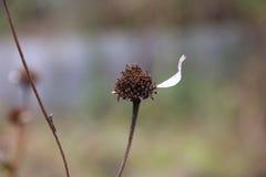 Das letzte Blumenblatt auf einer Blume Stockbilder