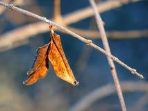 Das letzte Pomegrate-Blatt des Winters Stockfotos