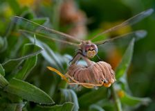 Das Libelleninsekt, das auf Gelb stillsteht, verwelkte Blume lizenzfreies stockbild