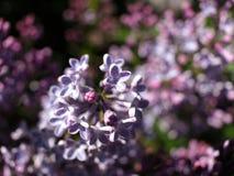 Das lila Bl?hen unter dem Offenen Himmel lizenzfreies stockfoto