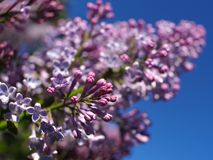 Das lila Bl?hen unter dem Offenen Himmel stockfotos
