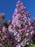 Das lila Bl?hen unter dem Offenen Himmel lizenzfreie stockfotos