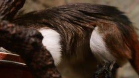 Das Lisztäffchen Saguinus Ödipus ist ein kleiner neue Weltaffe stock video