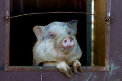 Das lustige Schwein im Bauernhof stockfotografie