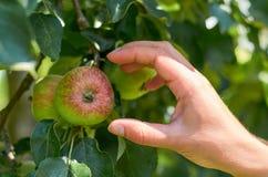 Das Mädchen mit ihrer Hand reißt einen reifen saftigen Apfel von einem Baum auseinander Konzept des Landlebens und der Hauptfruch lizenzfreie stockfotografie