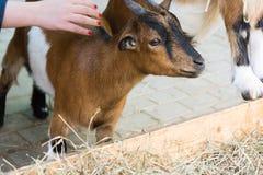 Das Mädchen, welches die kamerunische Ziege isst Heu von der Abflussrinne streicht lizenzfreie stockfotos