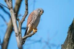Das männliche allgemeine Turmfalke Falco-tinnunculus, das auf der Niederlassung auf klarem blauem Hintergrund sitzt stockfoto