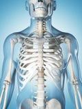 Das männliche Skelett Stockfotos