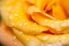 Das Makro, das oben auf gelb-orangeem nah ist, stieg mit Tautropfen lizenzfreie stockfotografie