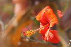 Das Makro- des Stempels und rote Hibiscuse blühen stockfoto