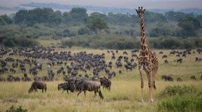 Das Masai Mara, Kenia Stockbild