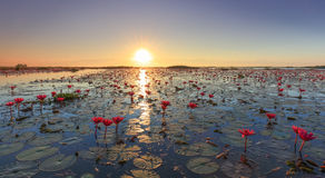 Das Meer des roten Lotos, See Nong Harn, Udon Thani, Thailand lizenzfreie stockbilder