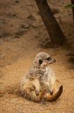 Das meerkat oder das suricate in Lissabon-Zoo Lizenzfreies Stockbild