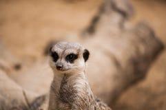 Das meerkat oder das suricate in Lissabon-Zoo Stockfoto